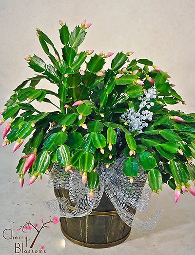 Christmas Cactus.Blooming Christmas Cactus Cherry Blossoms Florist Westminster Co