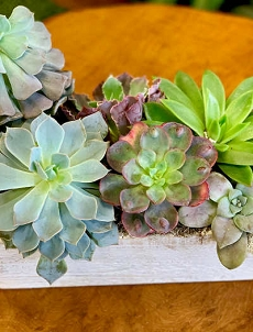 Boxed Succulents