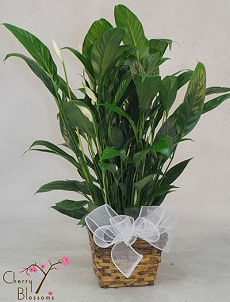 Peace Lily Plant (Med)