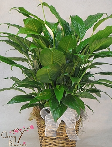 Peace Lily Plant (Lrg)