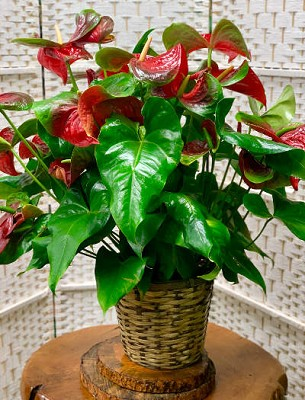 Huge Red Anthurium