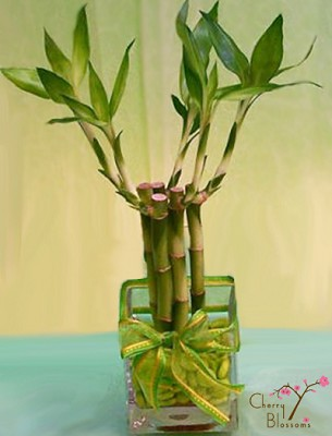 Small Lucky Bamboo Plant Cherry Blossoms Florist